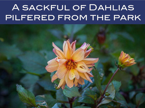 A sackful of Dahlias pilfered from the park