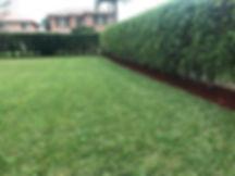 ficus bush.jpg