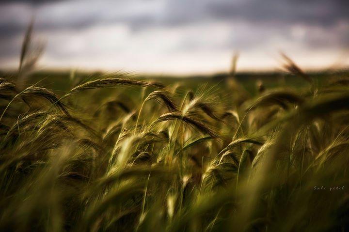 The golden green field visit