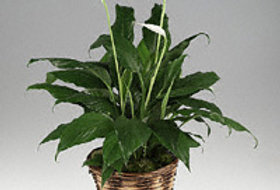 """Spath-  """"Peace Lily"""""""