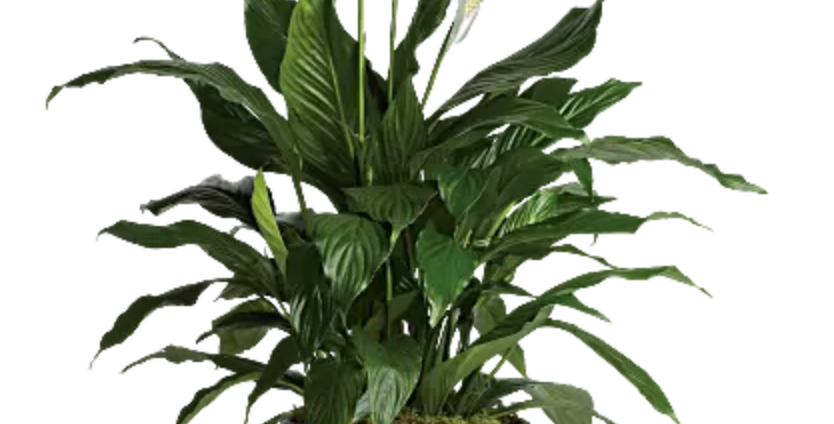 Spath ( Peace Lily)