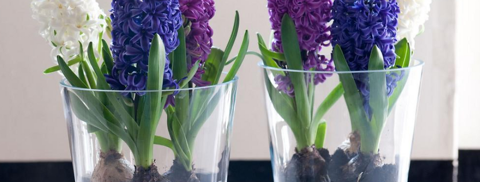 Hyacinth Bulbs Arranged