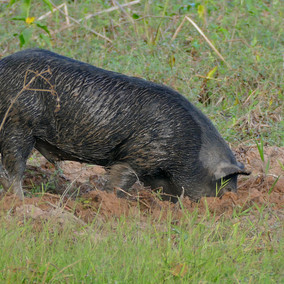 Reducing non-native wild pigs to an anthropogenic effect