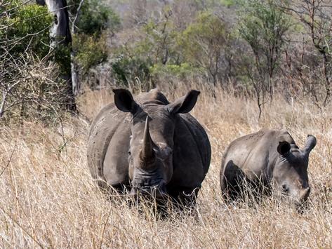 🦏 2 bébés rhinocéros, espèce en voie de disparition, aperçus dans un parc naturel en Indonésie