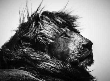 'LIONS' PAR LAURENT BAHEUX : INTERVIEW ET REPORTAGE PHOTOS