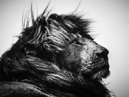 'LIONS' PAR LAURENT BAHEUX : INTERVIEW ET REPORTAGE PHOTOS
