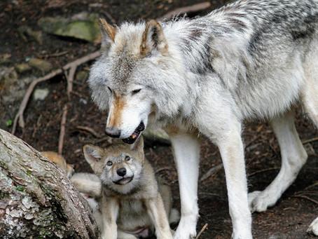⚠️ Fin de la chasse aux loups en Espagne VS tirs létaux bientôt autorisés en Haute-Marne