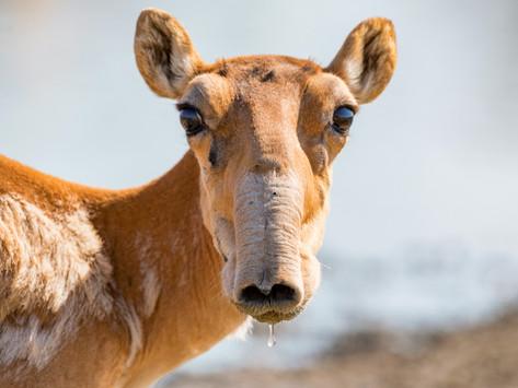 🇰🇿 350 Antilopes Saïga retrouvées mortes au Kazakhstan