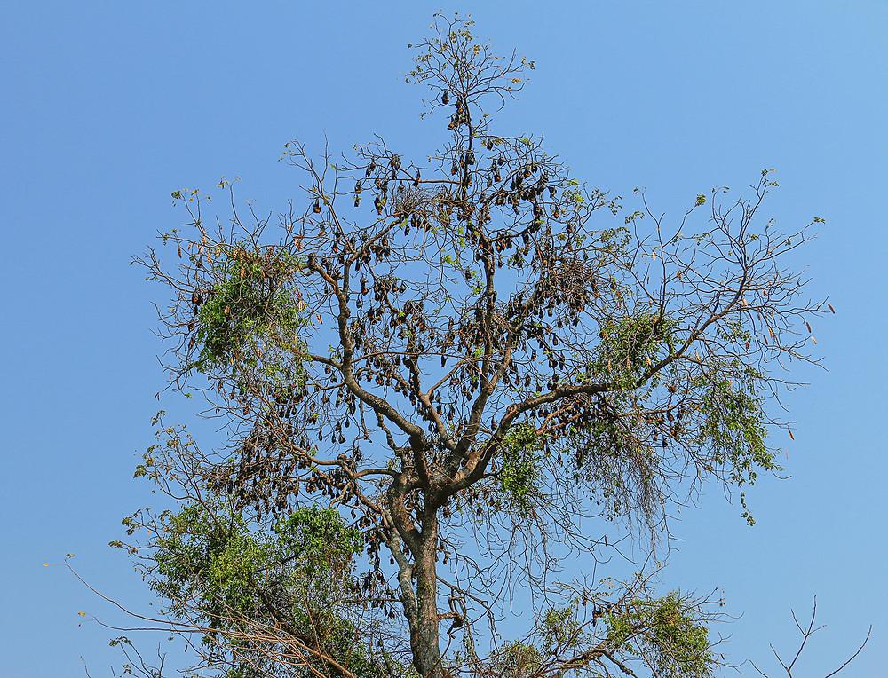 Megabats at a tree in Battamgbang, Cambodia