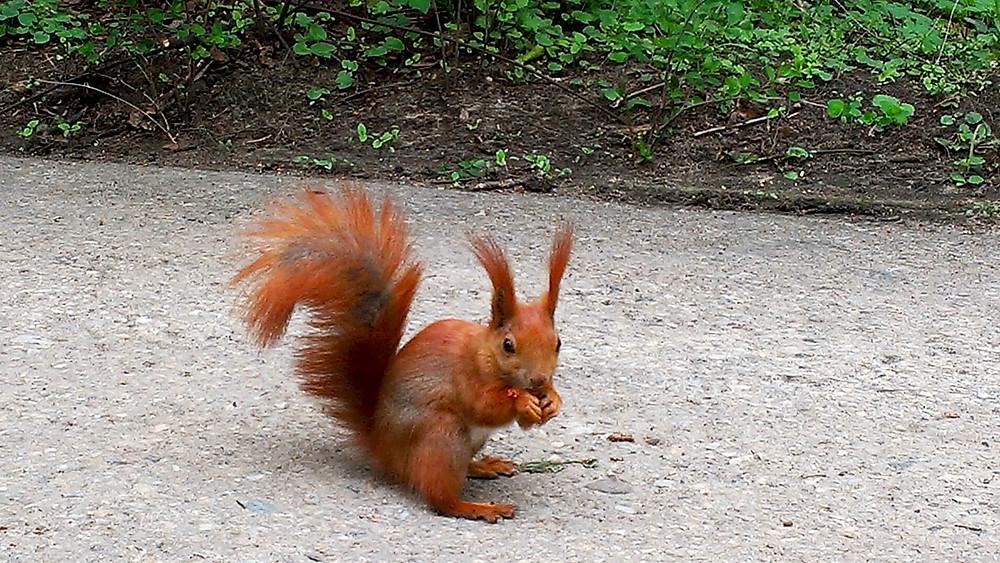 Cute redhair squirrel