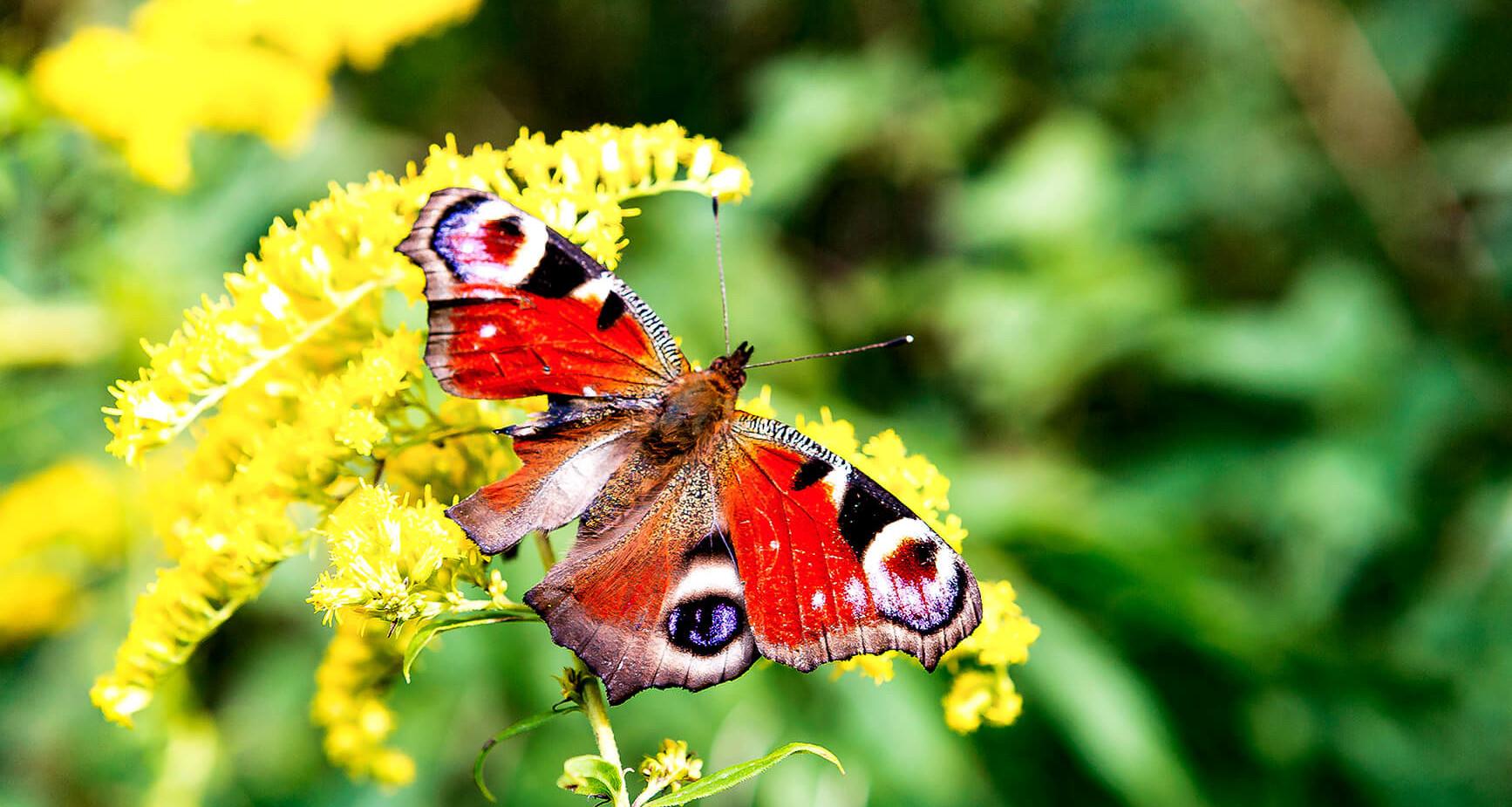 Sweden - Broken Wing Butterfly