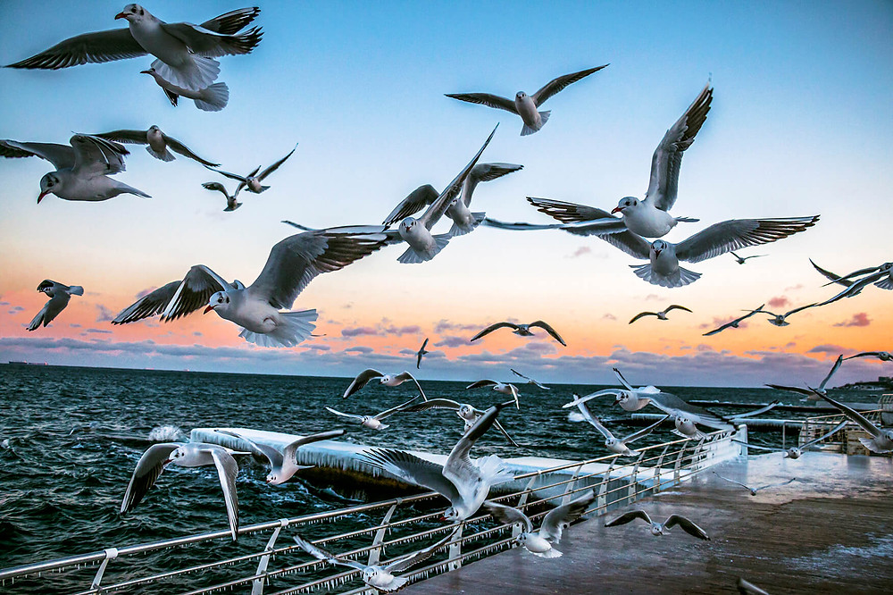 Seagulls flying at sunset by the Sea in Odessa