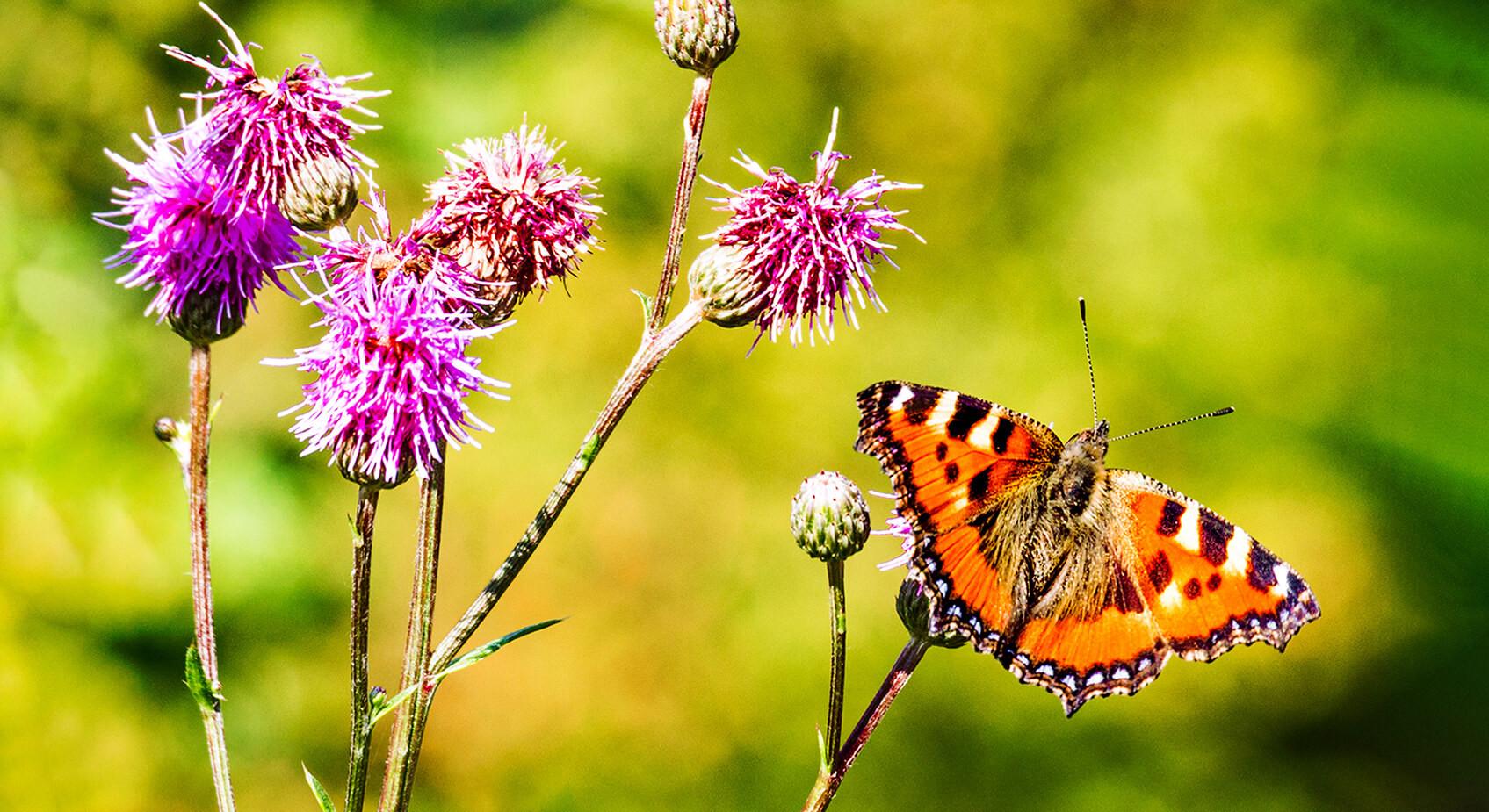 Butterfly in Alingsas Sweeden.jpg