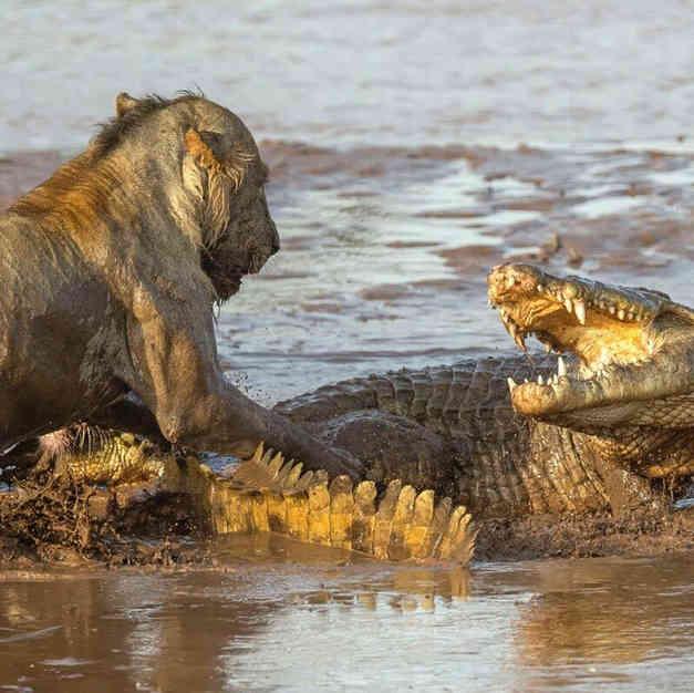 Крокодил выстоял против пяти окруживших его львиц – видео