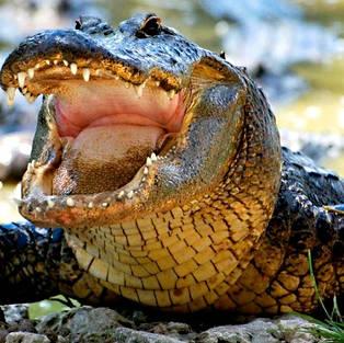Аллигатор проглотил женщину целиком, на глазах у всех