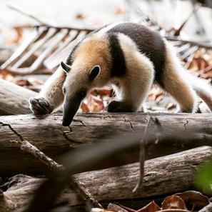 Northern Tamandua: Corcovado Jungle