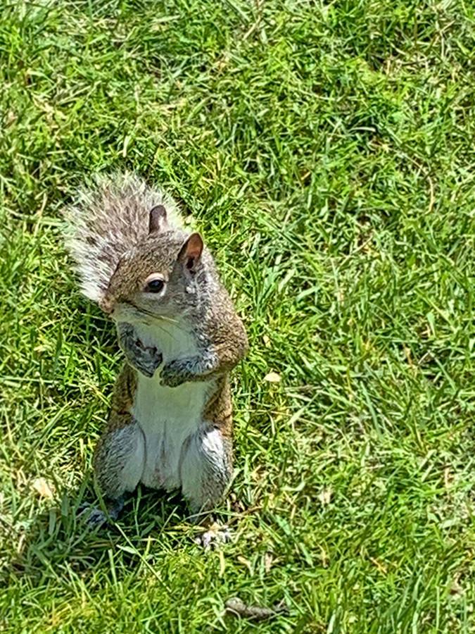 Grey Squirrel At Minoru
