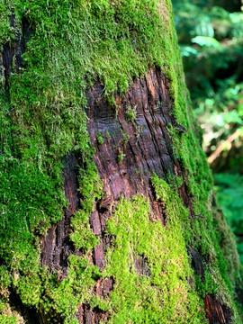 An Ancient Red Cedar