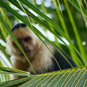 Monkey. Drake Bay, Costa Rica Travel Guide