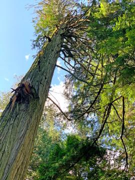 Giant Red Cedar