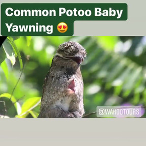 Common Pootoo Bird and Baby