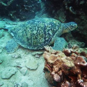 Turtle. Drake Bay, Costa Rica Travel Guide