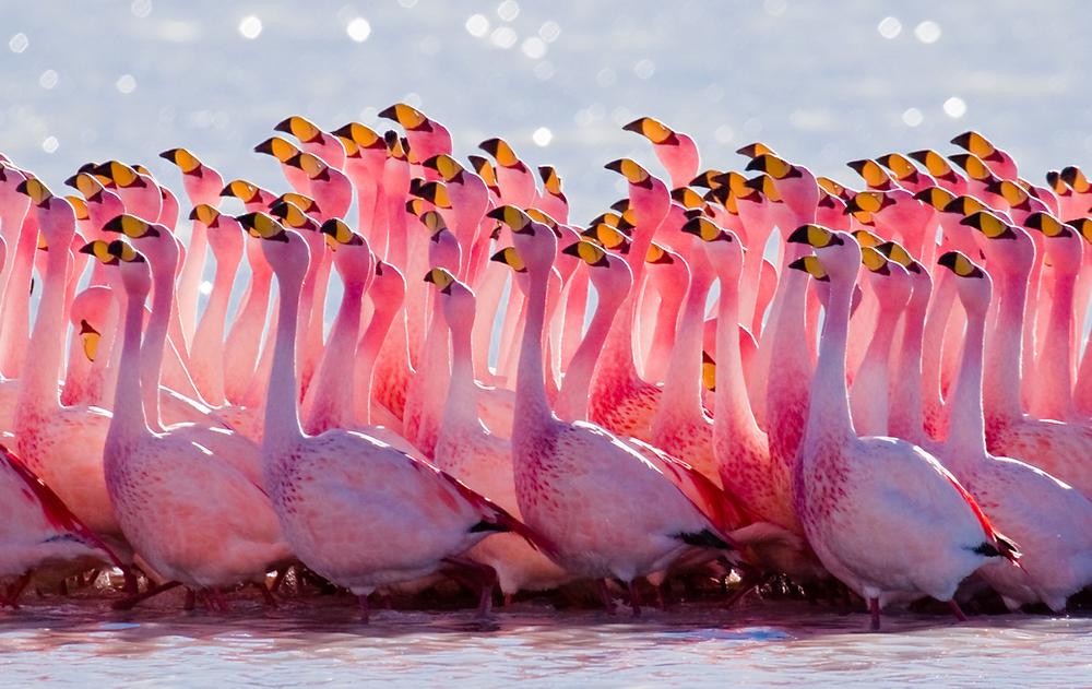 James Flamingo, Chile
