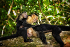 White Faced Monkies
