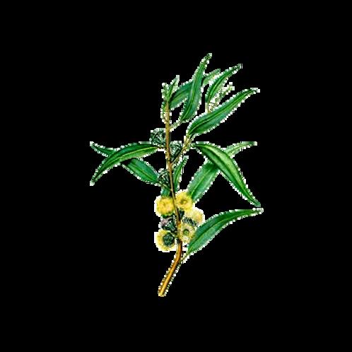 Huile essentielle Eucalyptus à Cryptone