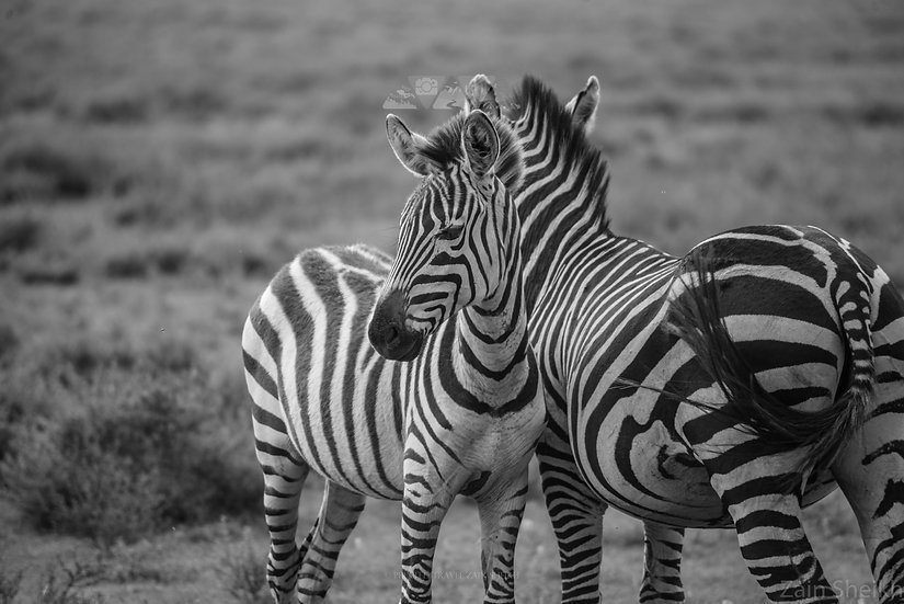 Zebra Views