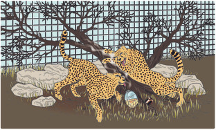 Cheetahs Go Wild for Opium