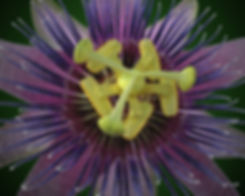 Passionflower_Featured.jpg