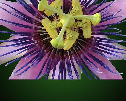 Passionflower_Banner.jpg
