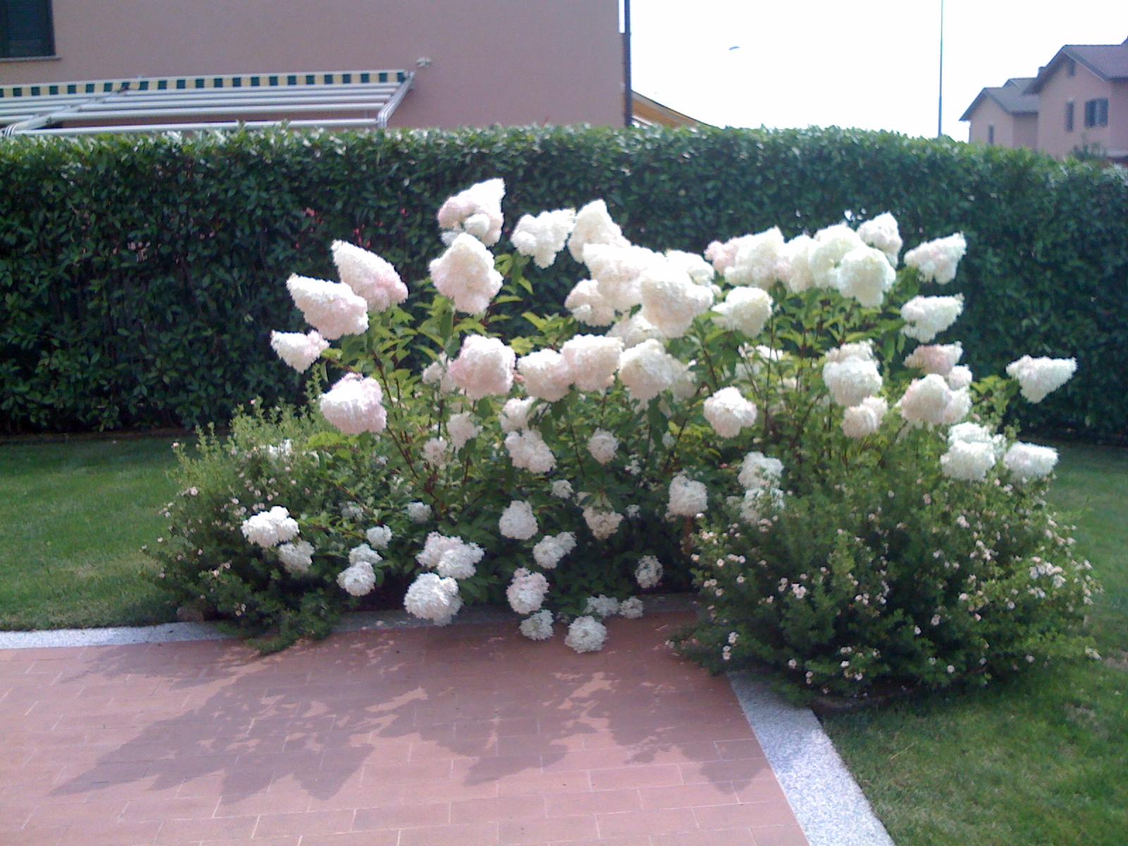 hidrangea paniculata