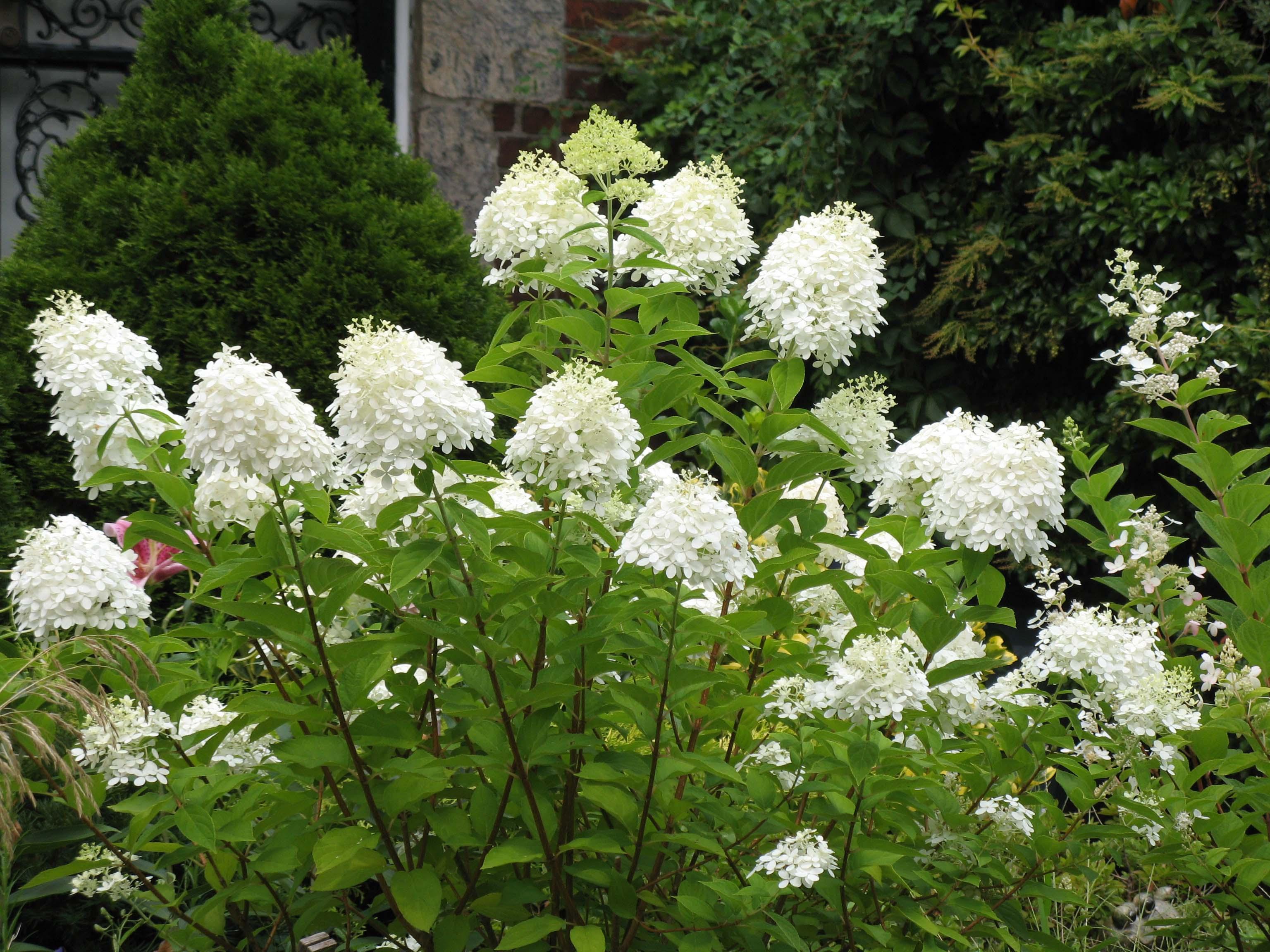 hydrangea paniculata bianca