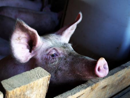 Bien-être animal : Herta reprend son approvisionnement dans un élevage de cochons ciblé par L214