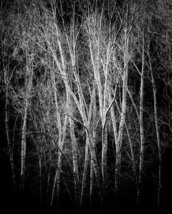 Ghost Aspens