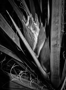 Yucca flower on Picacho - Edited.jpg