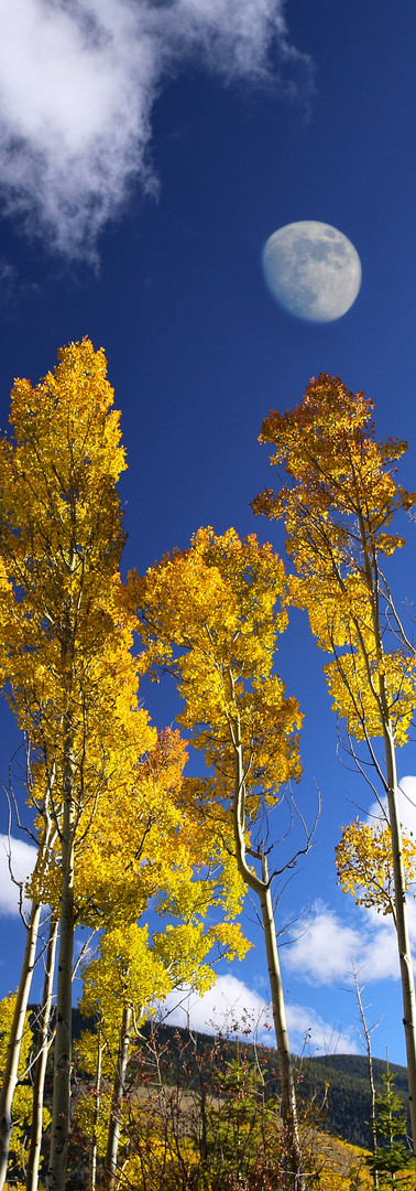 Aspens and Moon