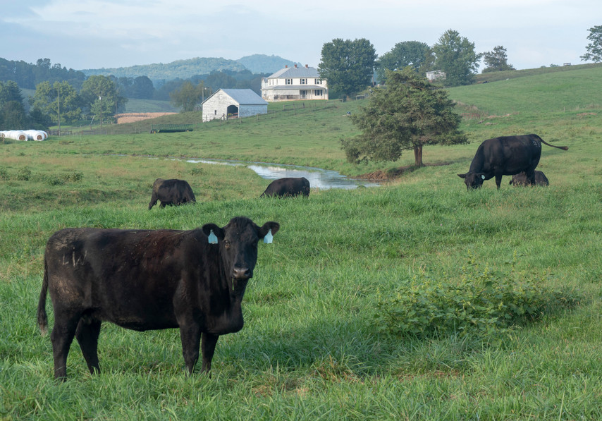 Blank Angus cattle