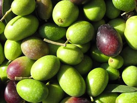una settimana tra gli olivi