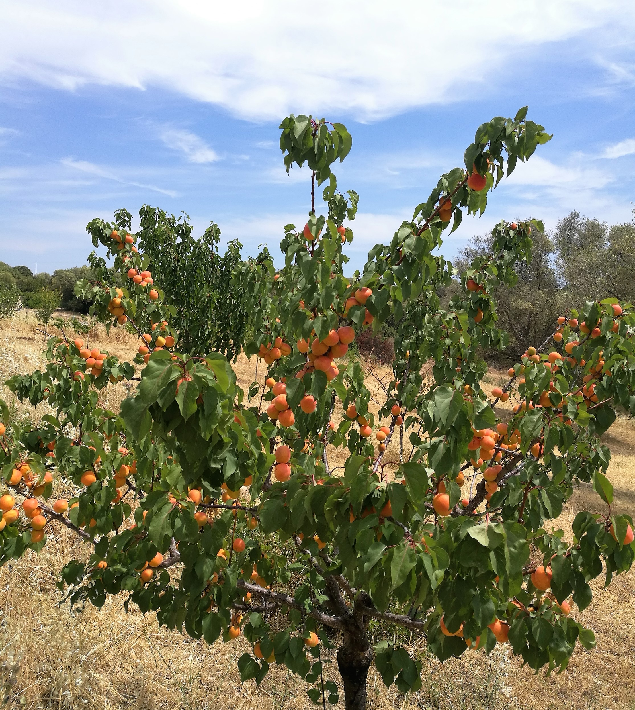 Apricot explosion!