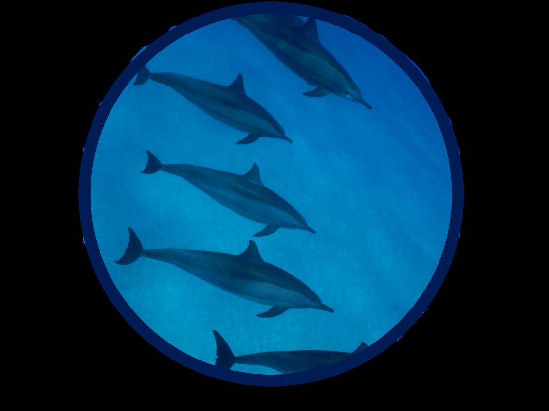 dauphins-2