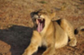 lion slnp.JPG
