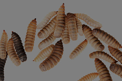 Black-soldier-fly-larvae-could-help-feed