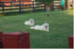 pyr dogs.jpg