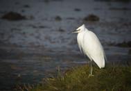 'Little Egret' by Colette Andrews