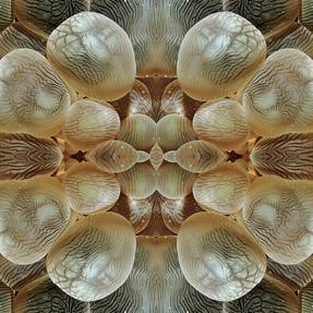 VITReAUX DE MER : Corail bulle Pleurogyra sinuosa - Madagascar