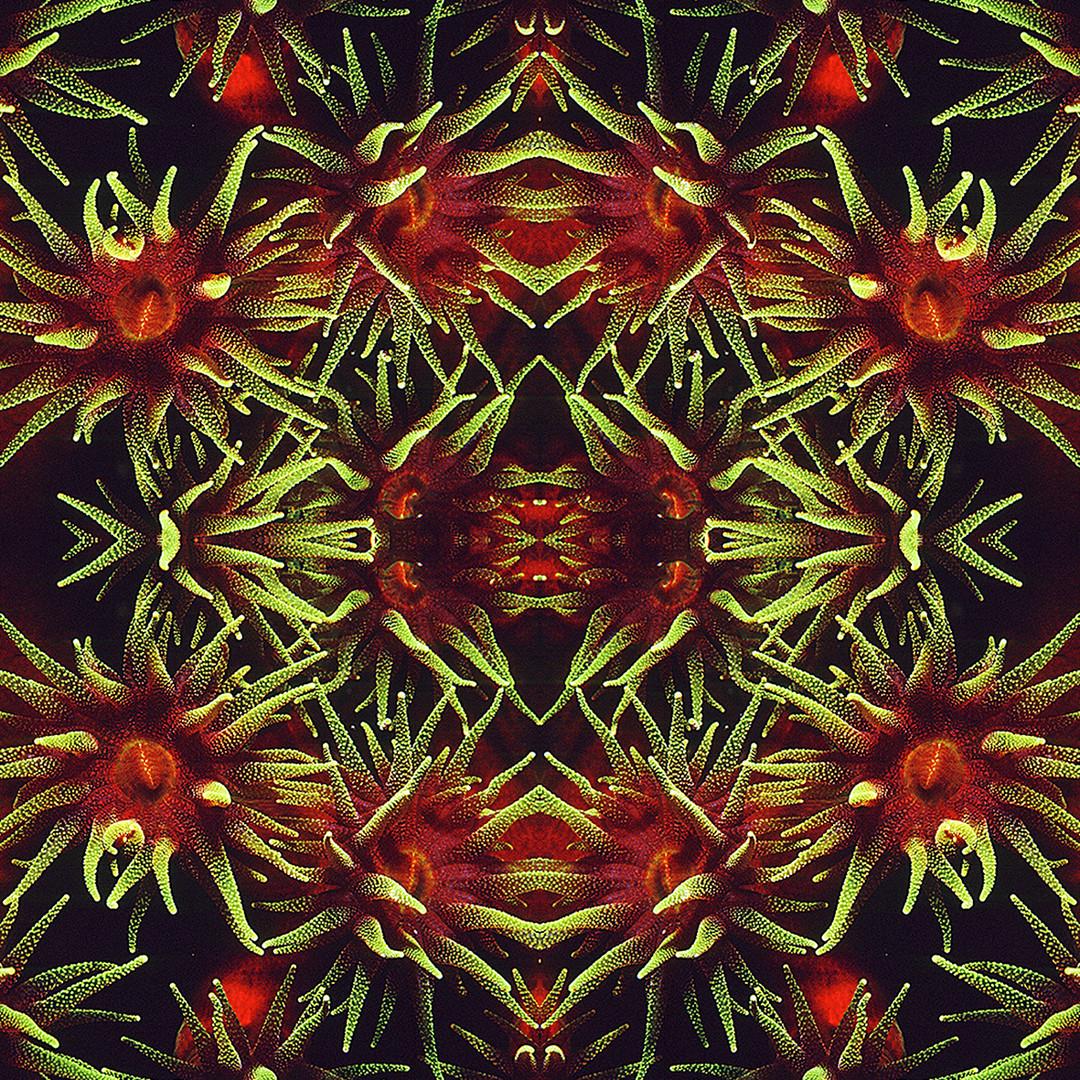 VITReAUX DE MER : Corail brun Tubastraea micrantha - Komodo