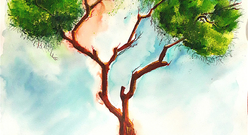 Pinus pinea N°10